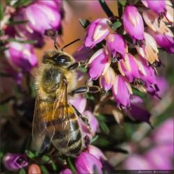 Les abeilles de Maxime