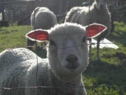Les moutons de Gérard